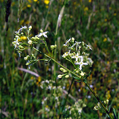 Flowers: Galium mollugo. ~ By Arthur Haines. ~ Copyright © 2020. ~ arthurhaines[at]wildblue.net