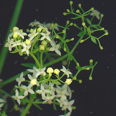 Flowers: Galium mollugo. ~ By Glen Mittelhauser. ~ Copyright © 2020 Glen Mittelhauser. ~ www.mainenaturalhistory.org