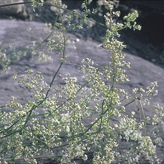 Plant form: Galium mollugo. ~ By Frank Bramley. ~ Copyright © 2020 New England Wild Flower Society. ~ Image Request, images[at]newenglandwild.org