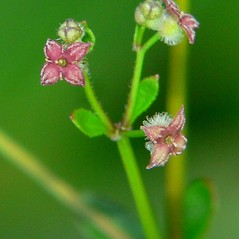 Flowers: Galium pilosum. ~ By Jason Sachs. ~ Copyright © 2020 Jason Sachs. ~ No permission needed for non-commercial uses, with proper credit