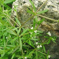 Plant form: Galium trifidum. ~ By Glen Mittelhauser. ~ Copyright © 2020 Glen Mittelhauser. ~ www.mainenaturalhistory.org