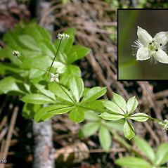 Flowers: Galium triflorum. ~ By Keir Morse. ~ Copyright © 2020 Keir Morse. ~ www.keiriosity.com ~ www.keiriosity.com