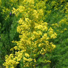 Flowers: Galium verum. ~ By Marilee Lovit. ~ Copyright © 2021 Marilee Lovit. ~ lovitm[at]gmail.com