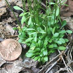 Leaves: Houstonia caerulea. ~ By Arieh Tal. ~ Copyright © 2020 Arieh Tal. ~ www.nttlphoto.com ~ Arieh Tal - www.nttlphoto.com