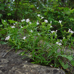Plant form: Houstonia longifolia. ~ By Arthur Haines. ~ Copyright © 2020. ~ arthurhaines[at]wildblue.net