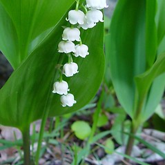 Flowers: Convallaria majalis. ~ By Arthur Haines. ~ Copyright © 2021. ~ arthurhaines[at]wildblue.net