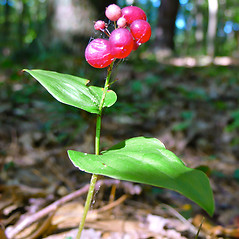 Fruits: Maianthemum canadense. ~ By Dawn Dentzer. ~ Copyright © 2021. ~ dawndentzer[at]gmail.com