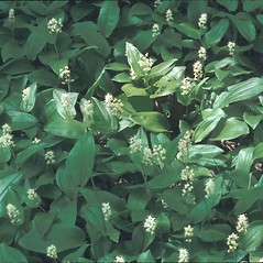 Plant form: Maianthemum canadense. ~ By John Lynch. ~ Copyright © 2021 New England Wild Flower Society. ~ Image Request, images[at]newenglandwild.org