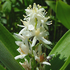 Flowers: Maianthemum stellatum. ~ By Glen Mittelhauser. ~ Copyright © 2019 Glen Mittelhauser. ~ www.mainenaturalhistory.org