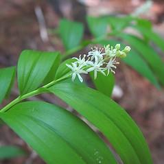 Plant form: Maianthemum stellatum. ~ By Arthur Haines. ~ Copyright © 2021. ~ arthurhaines[at]wildblue.net