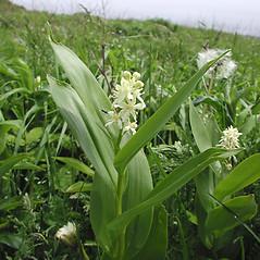Inflorescences: Maianthemum stellatum. ~ By Marilee Lovit. ~ Copyright © 2021 Marilee Lovit. ~ lovitm[at]gmail.com