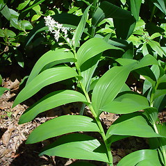 Leaves: Maianthemum stellatum. ~ By Arthur Haines. ~ Copyright © 2020. ~ arthurhaines[at]wildblue.net