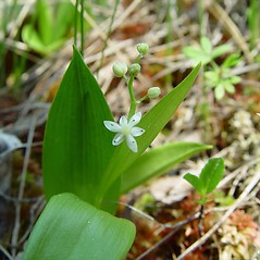 Flowers: Maianthemum trifolium. ~ By Arthur Haines. ~ Copyright © 2021. ~ arthurhaines[at]wildblue.net
