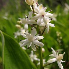 Flowers: Maianthemum trifolium. ~ By Marilee Lovit. ~ Copyright © 2021 Marilee Lovit. ~ lovitm[at]gmail.com