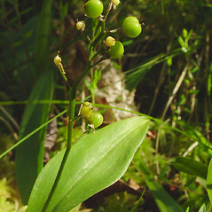 Fruits: Maianthemum trifolium. ~ By Glen Mittelhauser. ~ Copyright © 2021 Glen Mittelhauser. ~ www.mainenaturalhistory.org
