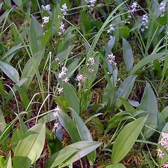 Plant form: Maianthemum trifolium. ~ By Arthur Haines. ~ Copyright © 2021 Arthur Haines. ~ arthur.d.haines[at]gmail.com