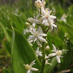Inflorescences: Maianthemum trifolium. ~ By Marilee Lovit. ~ Copyright © 2021 Marilee Lovit. ~ lovitm[at]gmail.com