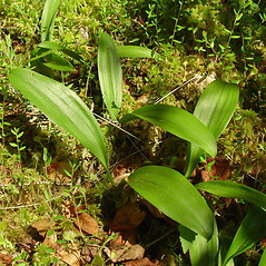 Leaves: Maianthemum trifolium. ~ By Glen Mittelhauser. ~ Copyright © 2021 Glen Mittelhauser. ~ www.mainenaturalhistory.org