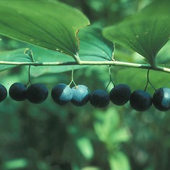 Fruits: Polygonatum biflorum. ~ By John Lynch. ~ Copyright © 2020 New England Wild Flower Society. ~ Image Request, images[at]newenglandwild.org