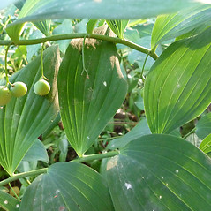 Leaves: Polygonatum biflorum. ~ By Dawn Dentzer. ~ Copyright © 2021. ~ dawndentzer[at]gmail.com