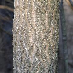 Bark: Phellodendron amurense. ~ By Arieh Tal. ~ Copyright © 2021 Arieh Tal. ~ http://botphoto.com/ ~ Arieh Tal - botphoto.com