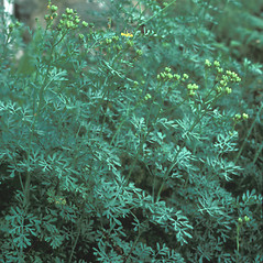 Plant form: Ruta graveolens. ~ By Jean Baxter. ~ Copyright © 2021 New England Wild Flower Society. ~ Image Request, images[at]newenglandwild.org