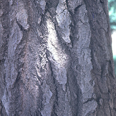 Bark: Populus alba. ~ By Dick Stiles. ~ Copyright © 2019 New England Wild Flower Society. ~ Image Request, images[at]newenglandwild.org