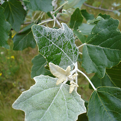 Leaves: Populus alba. ~ By Jill Weber. ~ Copyright © 2020 Jill Weber. ~ jillweber03[at]gmail.com