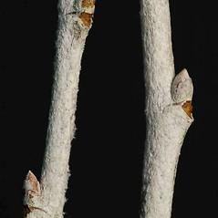 Winter buds: Populus alba. ~ By Ben Legler. ~ Copyright © 2020 Ben Legler. ~ mountainmarmot[at]hotmail.com ~ U. of Washington - WTU - Herbarium - biology.burke.washington.edu/herbarium/imagecollection.php