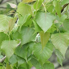 Leaves: Populus deltoides. ~ By Arieh Tal. ~ Copyright © 2021 Arieh Tal. ~ http://botphoto.com/ ~ Arieh Tal - botphoto.com
