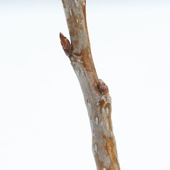 Winter buds: Populus deltoides. ~ By Arieh Tal. ~ Copyright © 2021 Arieh Tal. ~ http://botphoto.com/ ~ Arieh Tal - botphoto.com