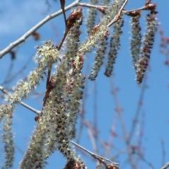Flowers: Populus grandidentata. ~ By Louis-M. Landry. ~ Copyright © 2020 Louis-M. Landry. ~ LM.Landry[at]videotron.ca  ~ CalPhotos - calphotos.berkeley.edu/flora/