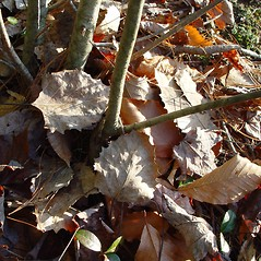 Leaves: Populus grandidentata. ~ By Arthur Haines. ~ Copyright © 2020. ~ arthurhaines[at]wildblue.net