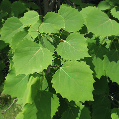 Leaves: Populus grandidentata. ~ By Donald Cameron. ~ Copyright © 2020 Donald Cameron. ~ No permission needed for non-commercial uses, with proper credit