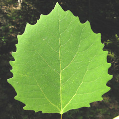 Leaves: Populus grandidentata. ~ By Donna Kausen. ~ Copyright © 2020 Donna Kausen. ~ 33 Bears Den, Addison, ME 04606