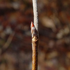 Winter buds: Populus grandidentata. ~ By Arthur Haines. ~ Copyright © 2020. ~ arthurhaines[at]wildblue.net