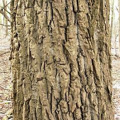 Bark: Populus nigra. ~ By Andrew Nelson. ~ Copyright © 2021 Andrew Nelson. ~ andrew.nelson[at]oswego.edu   ~ Flora of Rice Creek Field Station - www.oswego.edu/academics/opportunities/rice_creek_field_station