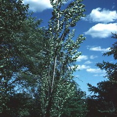 Plant form: Populus nigra. ~ By Robert Freckmann. ~ Copyright © 2020 Robert Freckmann. ~ rfreckma[at]uwsp.edu ~ Robert W. Freckmann Herbarium, U. of Wisconsin-Stevens Point