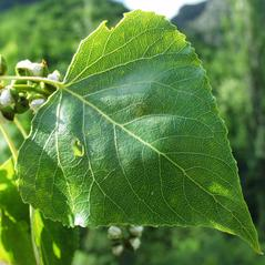 Leaves: Populus nigra. ~ By Henry Brisse. ~ Copyright © 2020 Henry Brisse. ~ henry.brisse[at]univ-cezanne.fr ~ Universite Paul Cezanne