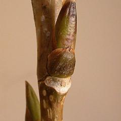 Winter buds: Populus nigra. ~ By Andrew Nelson. ~ Copyright © 2021 Andrew Nelson. ~ andrew.nelson[at]oswego.edu   ~ Flora of Rice Creek Field Station - www.oswego.edu/academics/opportunities/rice_creek_field_station