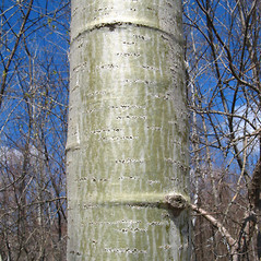 Bark: Populus tremuloides. ~ By Donna Kausen. ~ Copyright © 2020 Donna Kausen. ~ 33 Bears Den, Addison, ME 04606