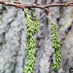 Flowers: Populus tremuloides. ~ By Paul Wray. ~ Copyright © 2021 CC BY-NC 3.0. ~  ~ Bugwood - www.bugwood.org/