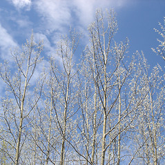 Plant form: Populus tremuloides. ~ By Jill Weber. ~ Copyright © 2020 Jill Weber. ~ jillweber03[at]gmail.com