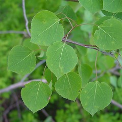 Leaves: Populus tremuloides. ~ By Arthur Haines. ~ Copyright © 2020. ~ arthurhaines[at]wildblue.net