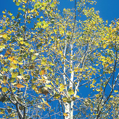 Leaves: Populus tremuloides. ~ By John Lynch. ~ Copyright © 2020 New England Wild Flower Society. ~ Image Request, images[at]newenglandwild.org