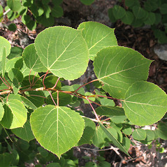 Leaves: Populus tremuloides. ~ By Marilee Lovit. ~ Copyright © 2020 Marilee Lovit. ~ lovitm[at]gmail.com