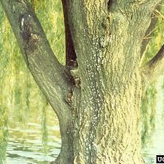 Bark: Salix alba. ~ By Richard Webb. ~ Copyright © 2021 CC BY-NC 3.0. ~  ~ Bugwood - www.bugwood.org/