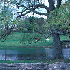 Plant form: Salix alba. ~ By Jean Baxter. ~ Copyright © 2021 New England Wild Flower Society. ~ Image Request, images[at]newenglandwild.org