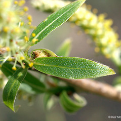 Leaves: Salix amygdaloides. ~ By Keir Morse. ~ Copyright © 2021 Keir Morse. ~ www.keiriosity.com ~ www.keiriosity.com