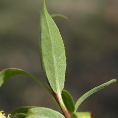 Leaves: Salix amygdaloides. ~ By Keir Morse. ~ Copyright © 2020 Keir Morse. ~ www.keiriosity.com ~ www.keiriosity.com